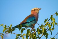 Lilac-breasted Roller, Nxai Pan National Park, Botswana, Africa by David Wall - various sizes