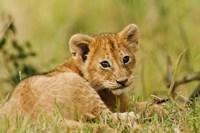 Lion cub in the bush, Maasai Mara Wildlife Reserve, Kenya Fine Art Print