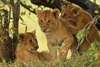 Lion cubs in the bush, Maasai Mara Wildlife Reserve, Kenya Fine Art Print