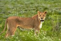 Lioness, Etosha National Park, Namibia by David Wall - various sizes