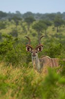Male greater kudu, Kruger National Park, South Africa by David Wall - various sizes