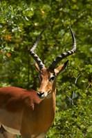 Male Impala, Hwange National Park, Zimbabwe, Africa Fine Art Print