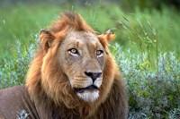 Male Lion, Kruger National Park, South Africa Fine Art Print