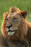 Male Lion, Panthera leo, Kruger NP, South Africa by David Wall - various sizes
