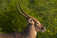 Male waterbuck, Kruger National Park, South Africa by David Wall - various sizes