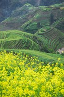 Landscape of Canola and Terraced Rice Paddies, China by Keren Su - various sizes - $41.99