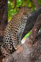 Leopard, Botswana Fine Art Print