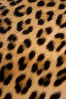 Leopard, Okavango Delta, Botswana Fine Art Print