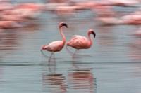 Lesser Flamingo tropical birds, Lake Nakuru NP, Kenya by Adam Jones - various sizes