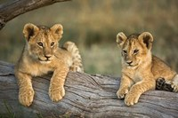Lion Cubs on Log, Masai Mara, Kenya by Adam Jones - various sizes