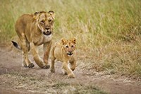 Lioness with her cub in tire tracks, Masai Mara, Kenya by Adam Jones - various sizes