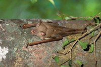 Madagascar, Commerson's leaf-nosed bat wildlife Fine Art Print