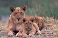 Lions, Okavango Delta, Botswana by Art Wolfe - various sizes - $41.99