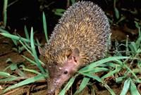 Madagascar, Ankarana, Greater Hedgehog tenrec wildlife Fine Art Print