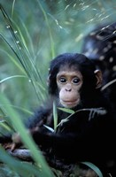 Infant Chimpanzee, Tanzania by Kristin Mosher - various sizes
