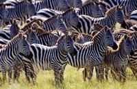 Large herd of Burchell's Zebras, Masai Mara Game Reserve, Kenya Fine Art Print