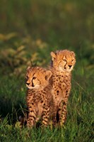 Cheetah cubs, Kenya Fine Art Print
