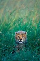Kenya, Masai Mara GR, Cheetah cub in tall grass by Paul Souders - various sizes