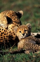 Kenya, Masai Mara Game Reserve. Cheetah cub by Adam Jones - various sizes - $42.49