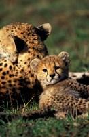 Kenya, Masai Mara Game Reserve. Cheetah cub by Adam Jones - various sizes, FulcrumGallery.com brand