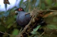 Madagascar, Ranamafana, blue pigeon, bird Fine Art Print
