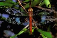 Madagascar, Ankarana Reserve, Malagasy Dragonfly insect Fine Art Print