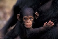 Infant Chimpanzee, Gombe National Park, Tanzania Fine Art Print