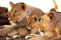 Lion cub among female lions, Samburu National Game Reserve, Kenya by Adam Jones - various sizes, FulcrumGallery.com brand