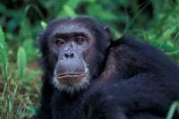Male Chimpanzee Relaxing, Gombe National Park, Tanzania Fine Art Print