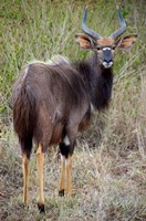 Male Nyala, Zulu Nyala Game Reserve, Kwazulu Natal, South Africa Fine Art Print