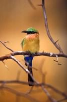 Kenya. Red-throated bee eater bird- by Adam Jones - various sizes, FulcrumGallery.com brand