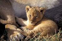 Kenya, Masai Mara. Six week old Lion cub (Panthera leo) Fine Art Print