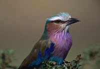 Kenya, Masai Mara, Lilac-breasted Roller bird by Charles Sleicher - various sizes