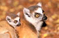 Madagascar Berenty Reserve. Ring-tailed Lemurs
