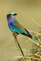 Lilac-Breasted Roller bird, Mana Pools NP, Zimbabwe by Kevin Schafer - various sizes