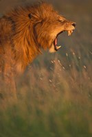 Kenya, Masai Mara Game Reserve, Lion, grass, savana by Paul Souders - various sizes - $43.49