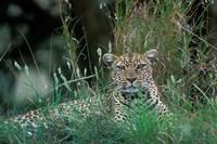 Leopard Resting along Telek River, Masai Mara Game Reserve, Kenya by Paul Souders - various sizes
