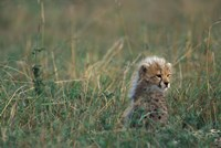 Kenya, Masai Mara Game Reserve, Cheetah, Savanna by Paul Souders - various sizes - $43.49
