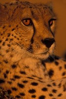 Kenya, Masai Mara Game Reserve, Cheetah, sunset by Paul Souders - various sizes - $43.49