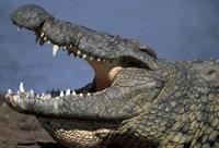 Kenya, Masai Mara Game Reserve, Nile Crocodile by Paul Souders - various sizes