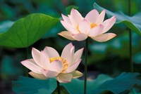 Lotus Flower in Blossom, China Fine Art Print