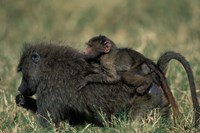 Kenya, Masai Mara Game Reserve, Chacma Baboons wildlife by Paul Souders - various sizes - $43.49
