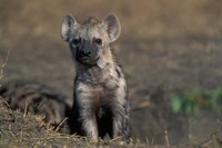 Kenya, Masai Mara Game Reserve, Spotted Hyena wildlife by Paul Souders - various sizes