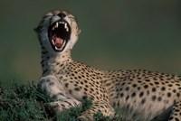 Kenya, Masai Mara Game Reserve, Cheetah in savanna by Paul Souders - various sizes