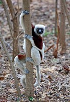 Madagascar, Ankarafantsika Coquerels Sifaka primate Fine Art Print