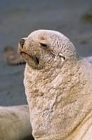 White Seal, South Georgia, Sub-Antarctica by Martin Zwick - various sizes