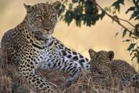 Leopard and Cub Resting, Masai Mara Game Reserve, Kenya Fine Art Print
