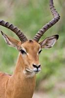 Male Impala, Tanzania Fine Art Print