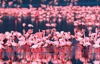 Lesser Flamingos, Lake Nakuru, Kenya Fine Art Print