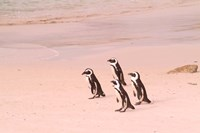 Jackass Penguins at the Boulders, near Simons Town, South Africa by Bill Bachmann - various sizes